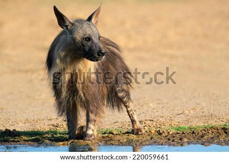 A brown hyena (Hyaena brunnea) at a waterhole, Kalahari desert, South Africa