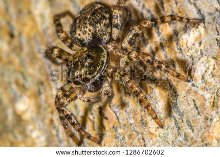 a brown jumping spider. macro photography  #1286702602