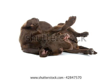 A Brown Labrador Retriever rolling around on his back.