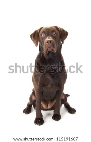 A brown labrador sitting against a white background