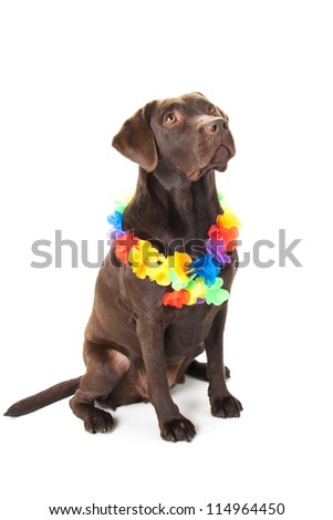 A brown labrador with hawaii lei against a white background