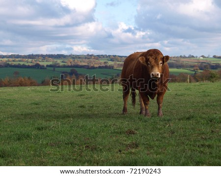 A brown limousin beef cow in rural England