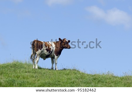 A brown milk cows in a pasture with lush green grass.Concept photo for advertising milk and dairy products.
