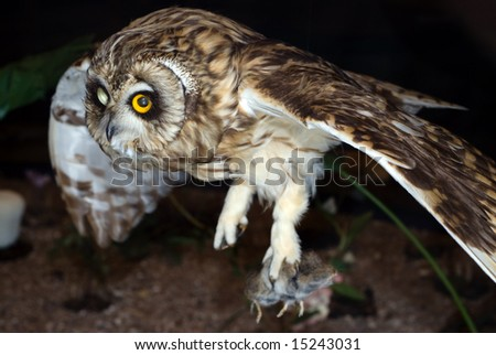 A brown owl flying and hunting at night