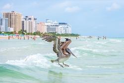 A brown pelican flies low over tropical sea water - Miami, Florida, USA