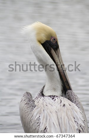 A brown pelican in an estuary in Naples Florida.