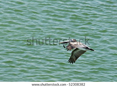 A Brown Pelican on the Alabama Gulf Coast.