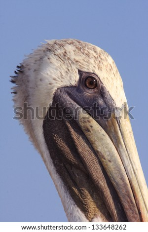A Brown Pelican Waiting on Lunch