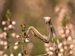 a brown praying mantis in wait