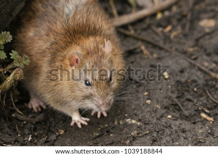 A Brown Rat (Rattus norvegicus) searching around on the ground for food.