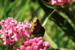 A brown skipper butterfly drinking nectar from pink milkweed flowers in the sun on a summer day.