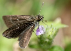 A brown Skipper Butterfly sitting on flower.  Hesperiidae.