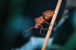 A brown squash bug climbing up a plant stemp.