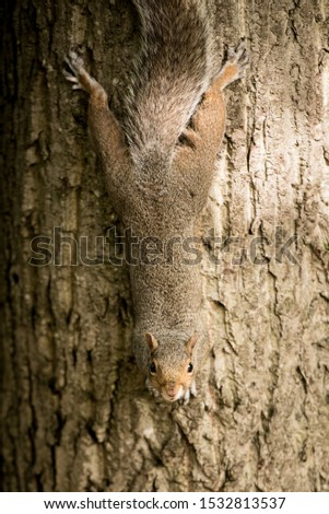 A brown squirrel hangs upside down while holding on to a tree trunk in Princes Street Gardens, Edinburgh, Scotland, Uk, as she looks straight into the camera