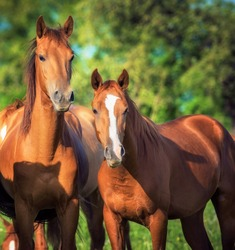 A brown stallion and a mare stand nearby
