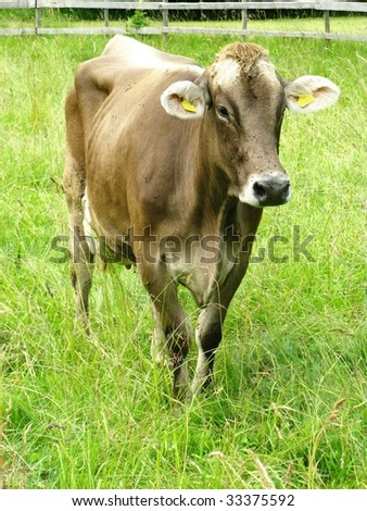 A brown swiss cow
