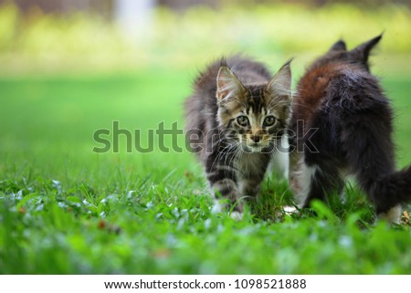 A brown tabby and white kitten chilling in green garden in daylight. black and white cat sitting on wooden garden chair blurry background by sunlight. #1098521888