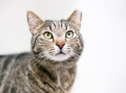 A brown tabby cat that has been eartipped to identify it as spayed or neutered and vaccinated
