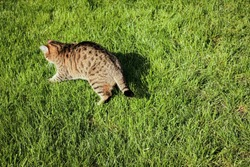 A brown tabby domestic cat chases prey on the lawn.