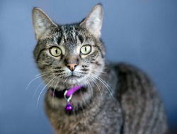 A brown tabby shorthair cat wearing a purple collar