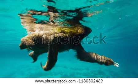 A brown-throated sloth (Bradypus variegatus) is a 3-toed sloth. It's swimming across a river.