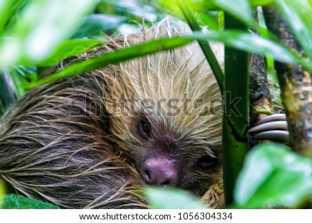 A brown-throated sloth (Bradypus variegatus) is a 3-toed sloth. They are mostly living in high trees within rain forests although this one is sleeping on the ground. #1056304334