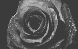 A bud of Dutch rose isolated on a black background. Black and white photo