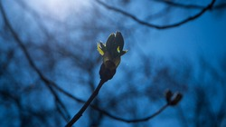 a bud on a tree in the back rays of the sun, a branch with a blossoming chestnut bud, a chestnut bud against a blue sky, selective focus, the awakening of nature in spring