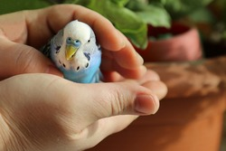 A budgie in the hands of a man. The owner put his hands around the blue parrot. A tame bird. Friendship between a man and a bird.