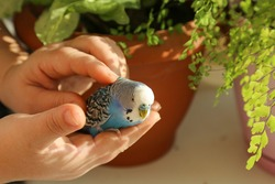 A budgie sits on the palm of a person's hand. A man's hands are stroking a blue parrot. The owner caresses his pet. A tame bird. Close-up.