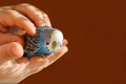 A budgie sits on the palm of a person's hand. The owner hugs and caresses the blue parrot with his hands. A tame bird. Friendship between a man and a bird. A pet.