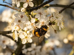 A buff-tailed bumblebee (Bombus terrestris) feeding on blackthorn blossom (Prunus spinosa) in the Beddington Farmlands nature reserve in Sutton, London.