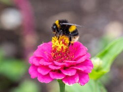 A buff-tailed bumblebee (Bombus terrestris) on a bright pink flower