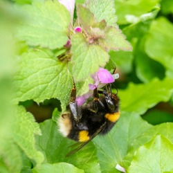 A buff-tailed bumblebee (Bombus terrestris) seen nectaring on dead nettle flowers (Lamium purpureum) in early spring.