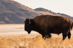 A buffalo grazing in the plains
