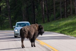 A buffalo or bison stands in the middle of a two lane road while an oncoming car stops to let it pass.