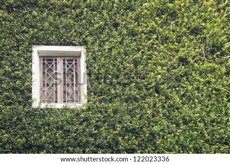 a building and old window covered with creeping fig