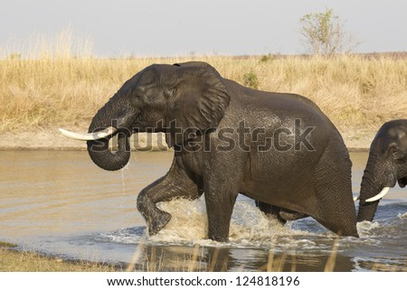 A Bull African Elephant, Kruger Park, (Loxodonta africana) leaves the water after a swim, South Africa