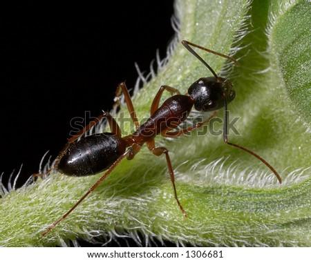 A Bull-ant on a leaf