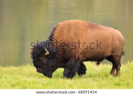 A bull bison walks along the bank of the Yellowstone River, Yellowstone National Park.