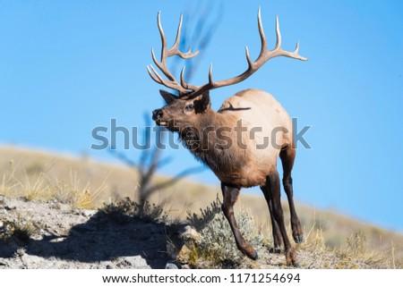 A bull elk runs down a ridge in Yellowstone National Park.