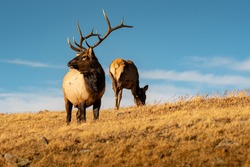 A Bull Elk with a female on the background standing on Rocky mountain, Colorado during mating season.