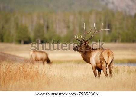 A bull Elk with cow in the background
