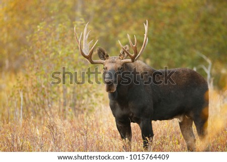 A bull moose in an autumn setting