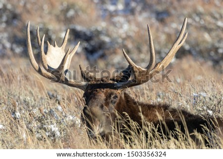 A bull moose on the Wyoming prairie #1503356324