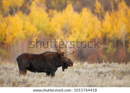 A bull moose outside with autumn foliage.
