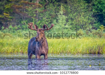 A bull moose standing in the edge of the lake in the early morning. Algonquin Park, Ontario, Canada.