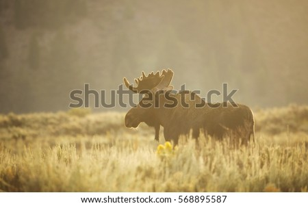 A bull moose walks through the sagebrush during a summer sunrise in Grand Teton National Park, Wyoming.