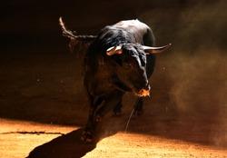 A bull on spain with big horns