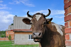 a bull peeking around the corner. Year of the bull or oxe in chinese calendar. 2021 year symbol. farming concept. cow in a village.domestic animals.